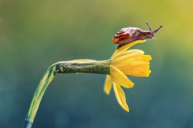 Little slug on daffodil stock photos