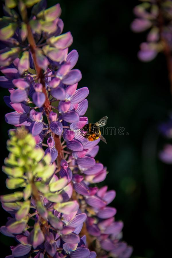Close up shot of lupine flowers and bumblebee on a dark background stock image