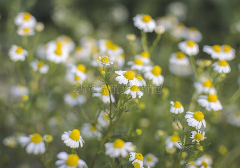Close up shot of natural chamomile.  stock photography