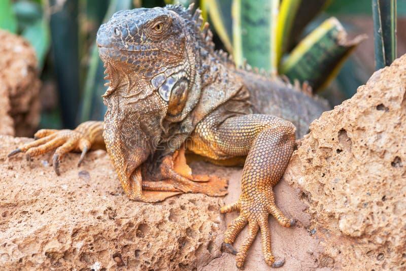 Close up shot of an orange iguana in desertic landscape. royalty free stock image