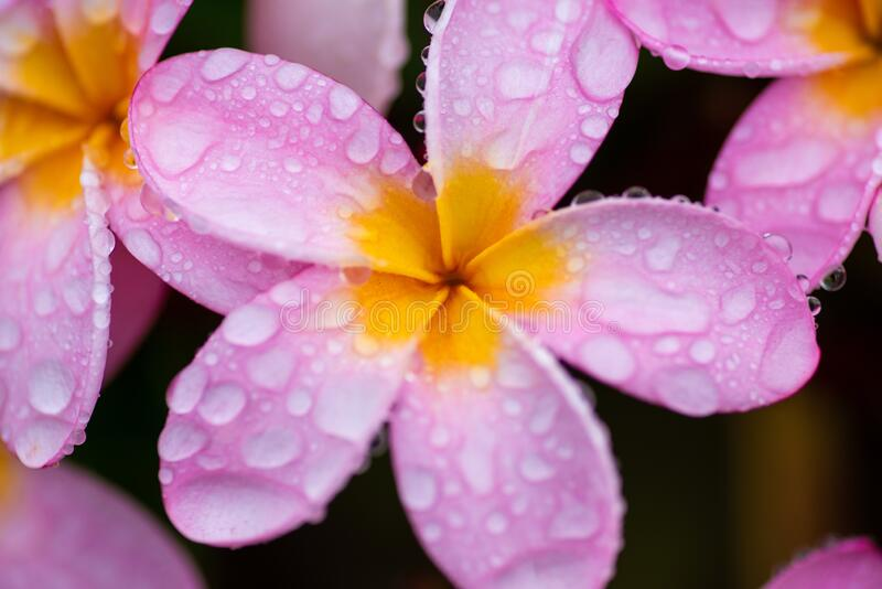 Close up shot of petals with water drops stock photography