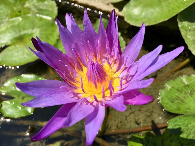 Purple lotus water lily flower royalty free stock photos