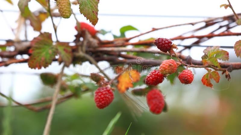 Raspberries on the plant royalty free stock photography