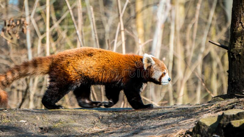 Close up shot of red panda at zoo by the day. Close up shot of pelican at zoo by the day. Close up shot of flamingo at zoo by the day. . Close up shot of owl royalty free stock photo