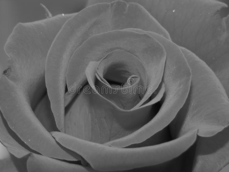 Monochrome close up shot of a red rose, black and white detail. royalty free stock photography