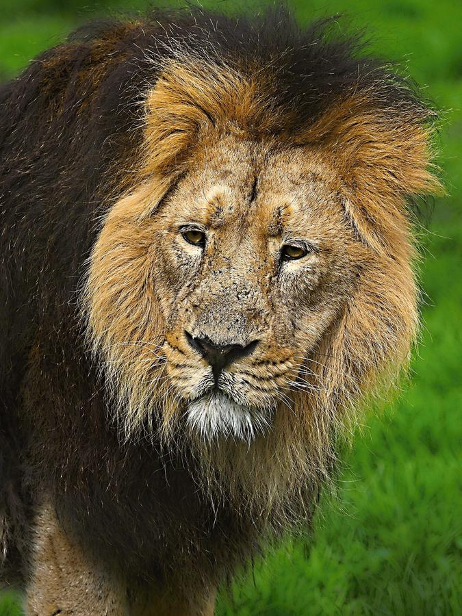An African Lion poses for the camera in safari park. African Lion poses for the camera in Safari park .The African Lion is one of the big cats. Highly royalty free stock image