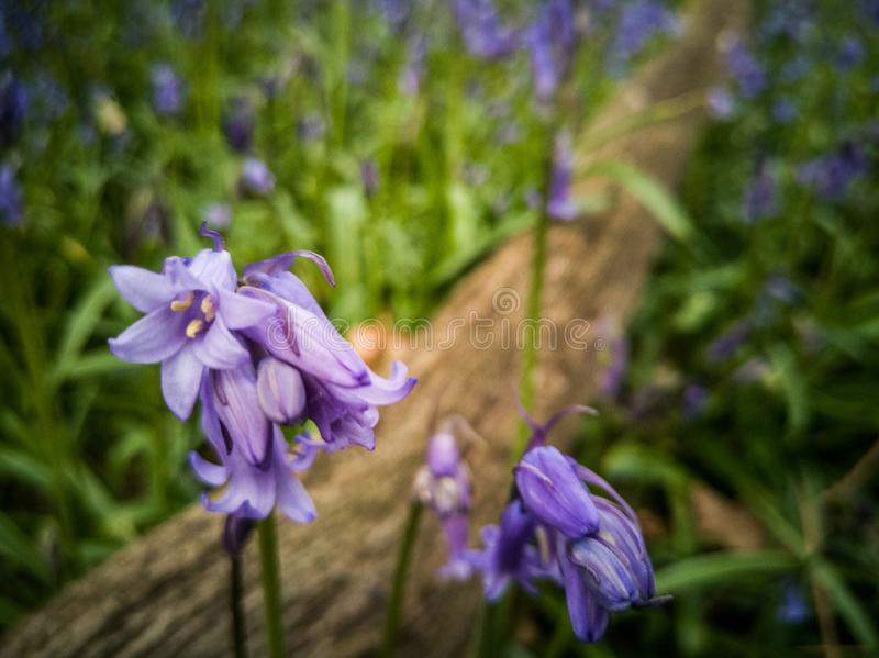 Scottish bluebell in forest stock image