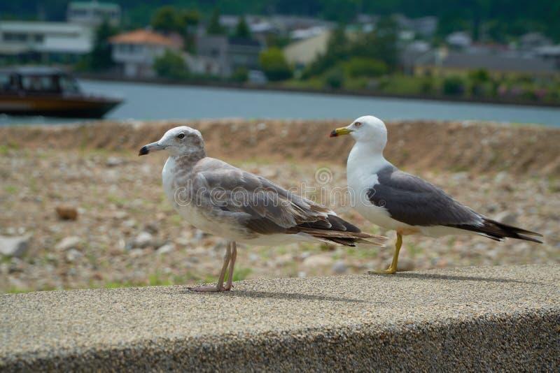 Close up shot of Seagull near the seashore stock photos