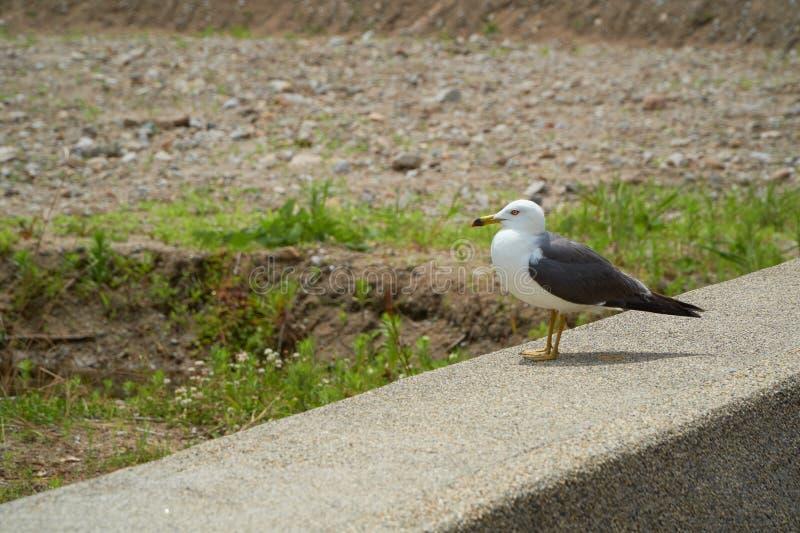Close up shot of Seagull near the seashore royalty free stock photo
