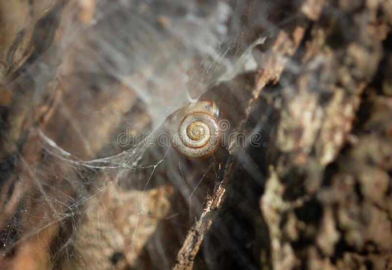 Snail`s shell in a web on a tree, macro. A close-up shot of a shell of a tiny land snail stuck in a web of a spider on a tree, macro photo royalty free stock photo