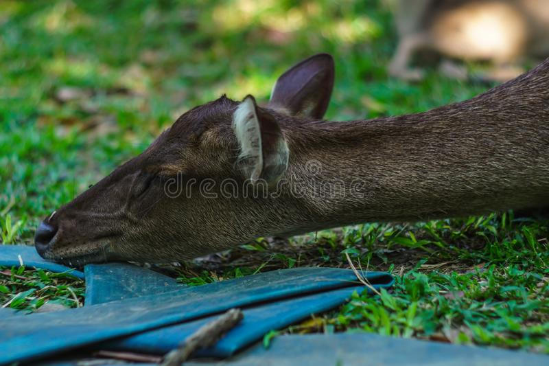 Close up shot of a sleeping deer in a park royalty free stock photos