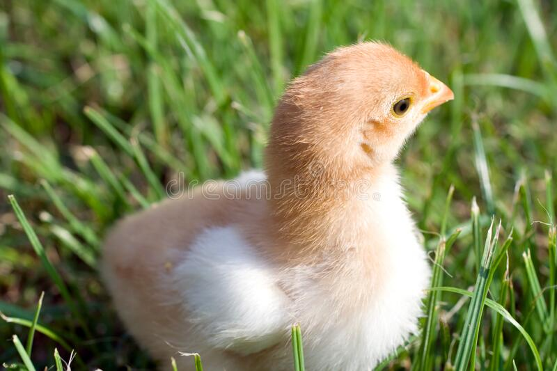 Close up shot of a small chick on green background.  stock photography