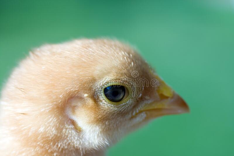 Close up shot of a small chick on green background.  royalty free stock images