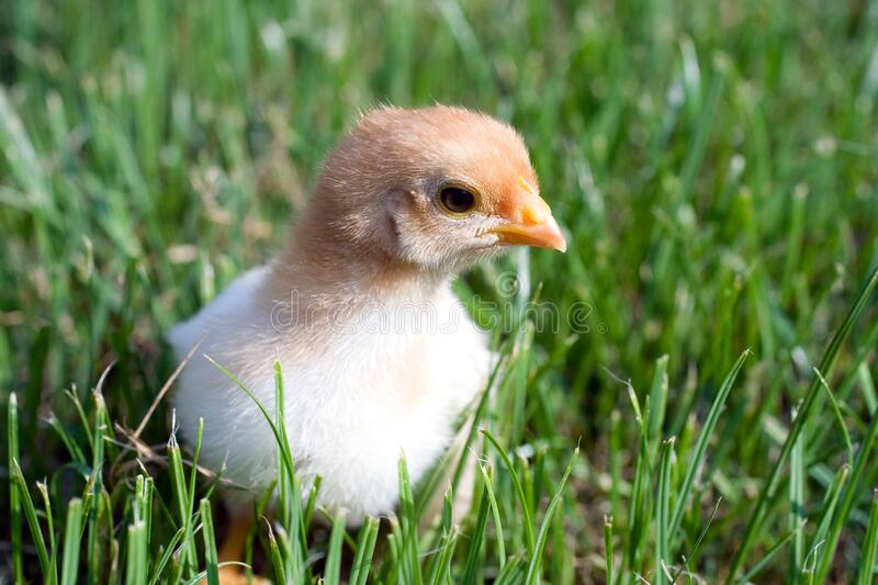 Close up shot of a small chick on green background.  royalty free stock photo