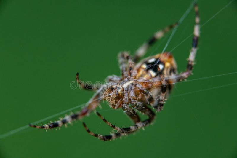 Spotted Orb Weaver Spider on Web royalty free stock photos