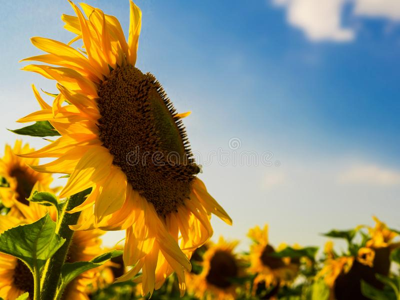 Close up shot of a sunflower on the sunset under blue sky, copyspace stock photography