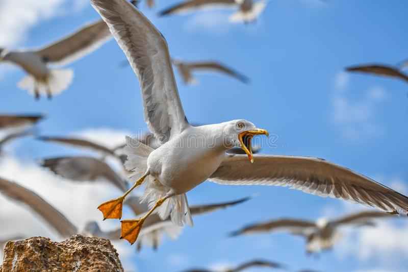 A close-up of a seagull bird with open beak flying with other birds on blue sky background. royalty free stock photography