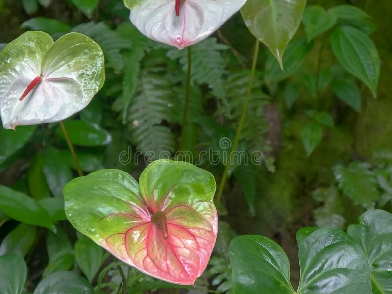 Close up shot of three pink anthurium tropical flowers royalty free stock photos