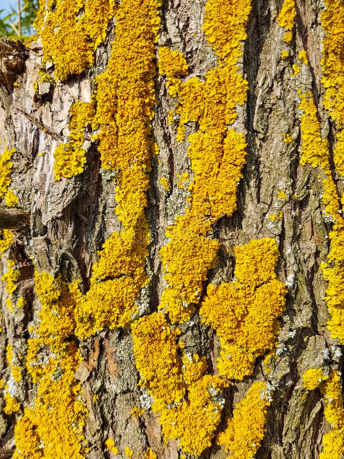Tree bark with yellow moss stock photo