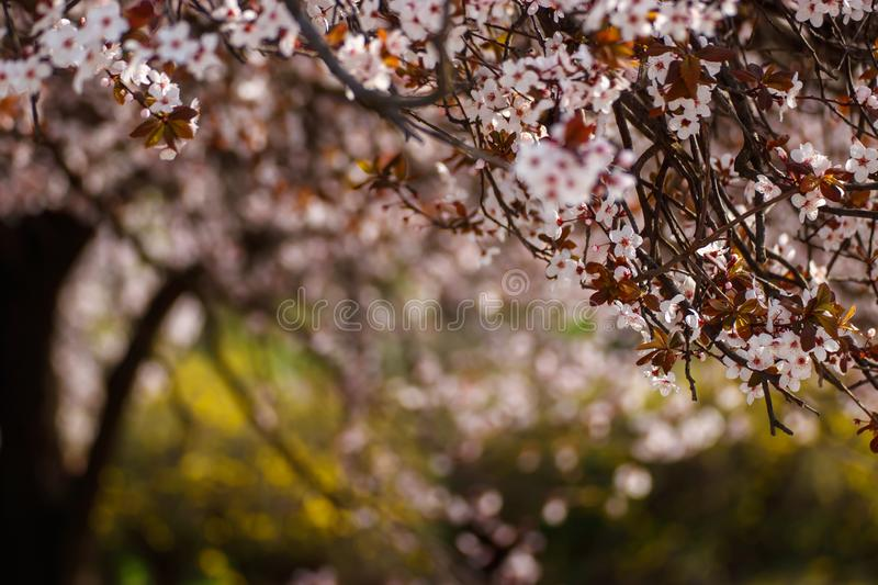 Beautiful spring tree blossoming in the park stock images