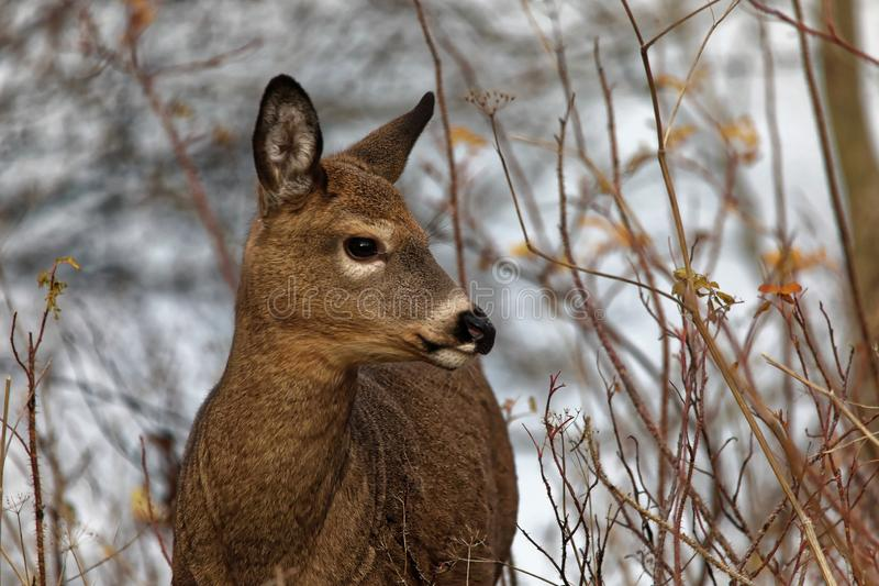 Virginia doe deer royalty free stock photography