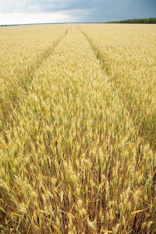 Download Close Up Shot Of Wheat Stalk Stock Image - Image of field, spike: 20108005