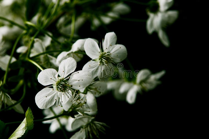 Close-up shot of white cherry blossom isolated on black royalty free stock photography
