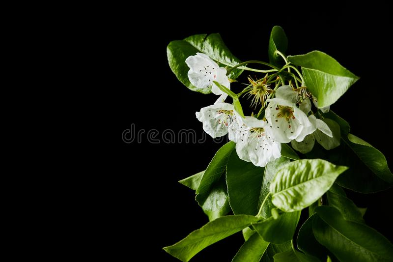 Close-up shot of white cherry flowers isolated on black stock images