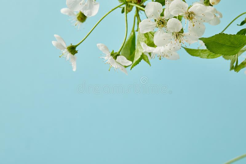 Close-up shot of white cherry flowers isolated on blue stock photography