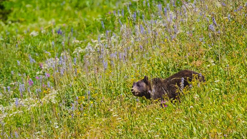 A close up shot of a wild big grizzly bear in the flowering grass in movement royalty free stock images