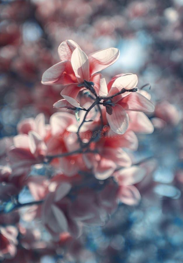 Wonderfully magnolia royalty free stock image
