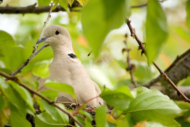 Close up shot of a wood pigeon in a nest.  royalty free stock photography