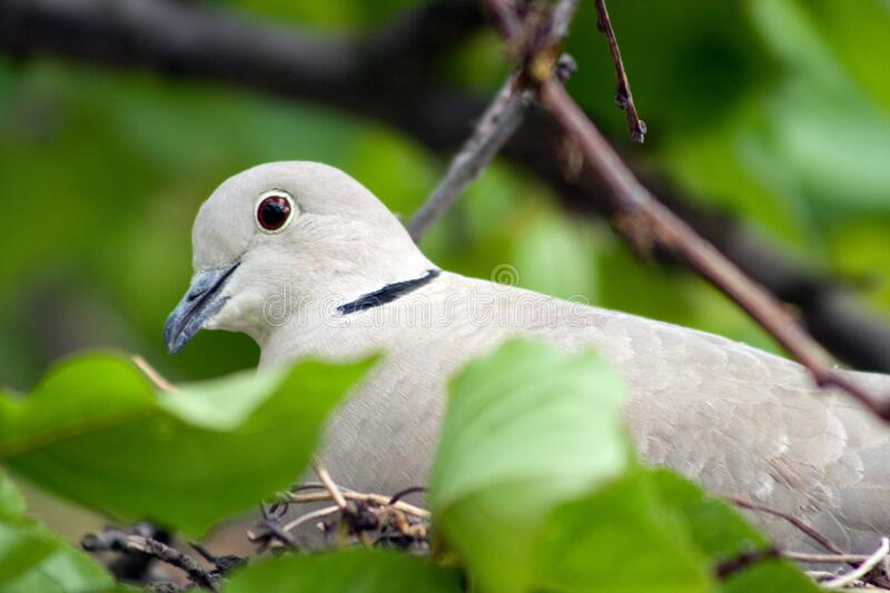 Close up shot of a wood pigeon in a nest.  stock images