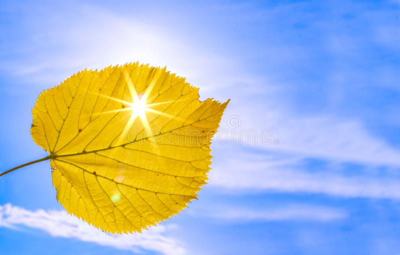 Close up shot of yellow autumn leaf with sun rays shining through it at blue sky background. royalty free stock images
