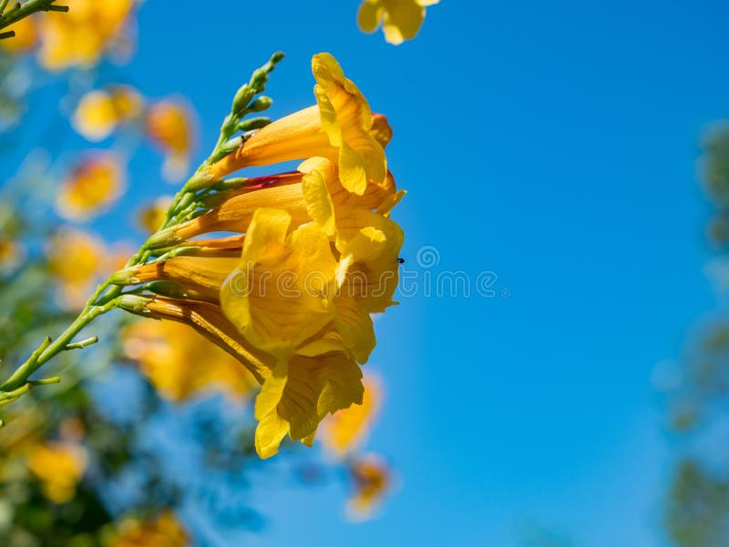 Close up shot of the yellow trumpetbush stock image