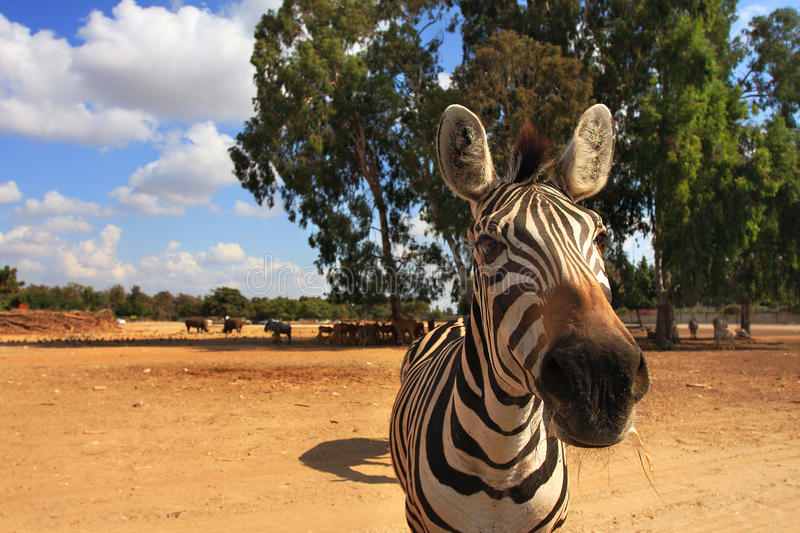 Close-up shot of zebra. Close-up shot of zebra looking straight to the camera in Safari park, Israel stock images