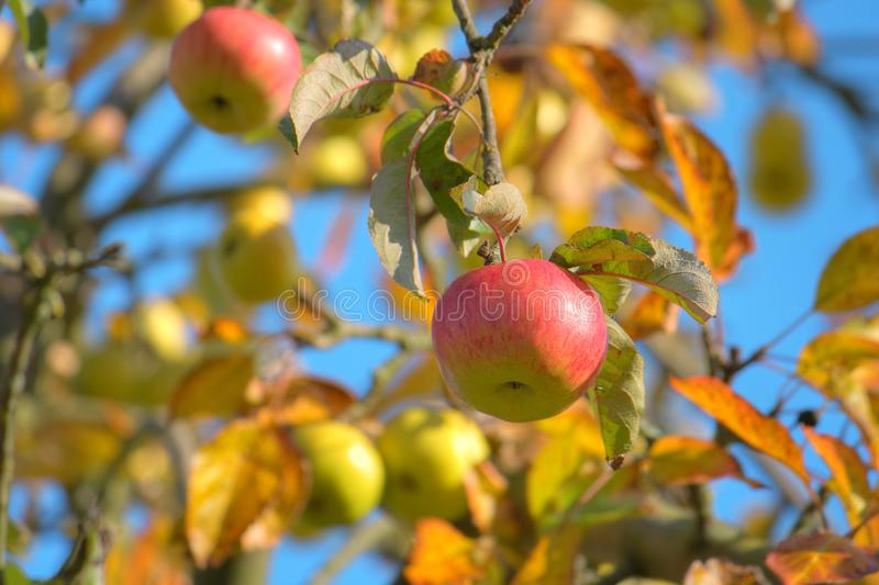 Close-up shots of beautiful apple tree in the late summer. stock photography