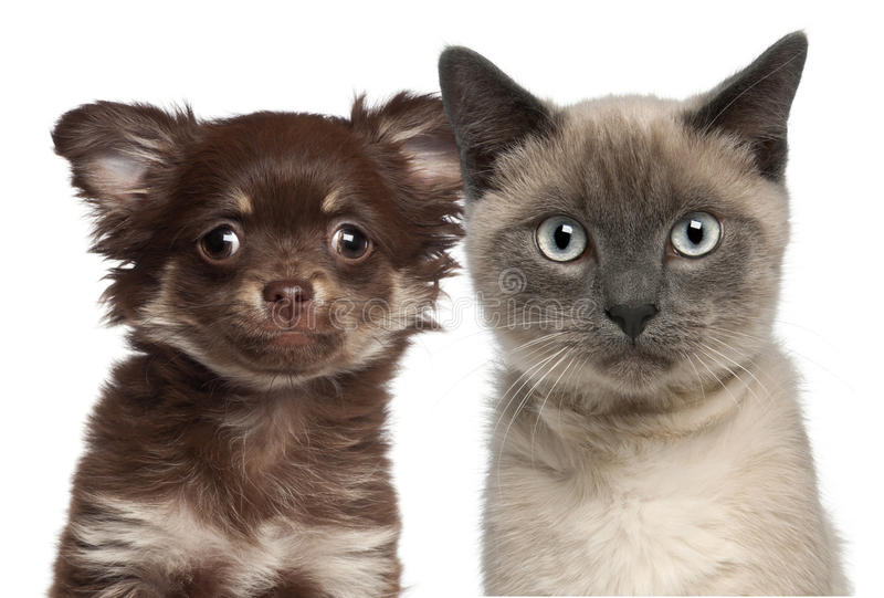 Download Close-up Of Siamese Kitten, 6 Months Old Stock Photo - Image of studio, gray: 27816192