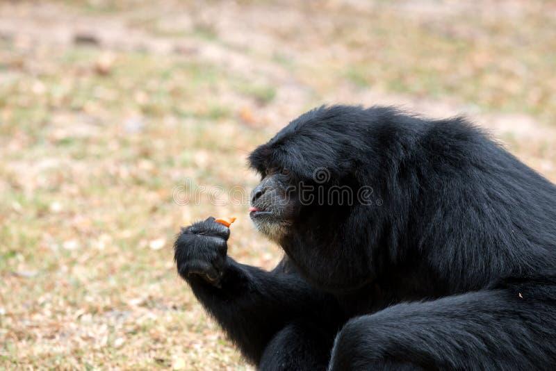 Close up of Sianang Gibbon eating food. Close up of Black Sianang Gibbon sitting and eating food stock photo