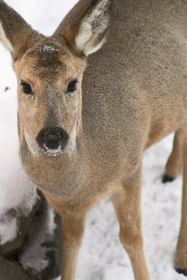 Close-up Siberian dos cervos de OVAS - verticalmente fotografia de stock