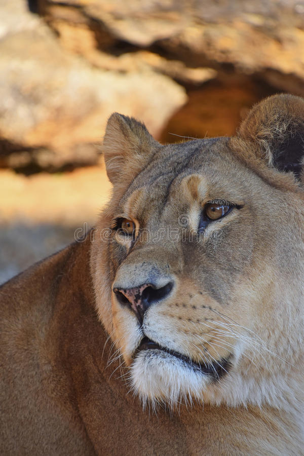 Close up side portrait of female African lioness. Close up side profile portrait of beautiful mature female African lioness looking away aside of camera, low stock photography