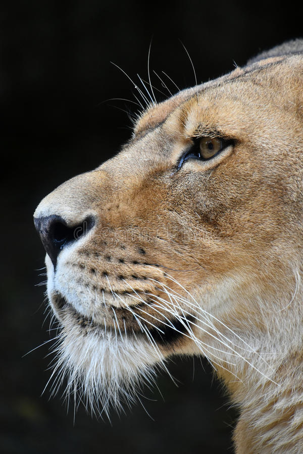 Close up side portrait of male African lioness. Close up side portrait of female African lioness over black background stock image