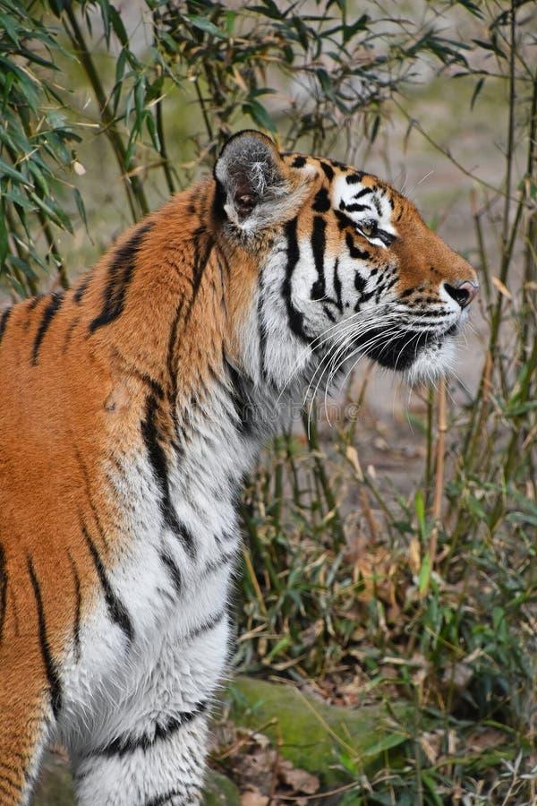 Close up side portrait of Siberian Amur tiger. Close up side profile portrait of Siberian tiger Amur tiger, Panthera tigris altaica stock photography
