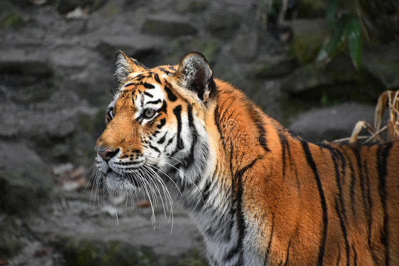 Close up side portrait of Siberian Amur tiger. Close up side profile portrait of Siberian tiger Amur tiger, Panthera tigris altaica over rocks royalty free stock photography