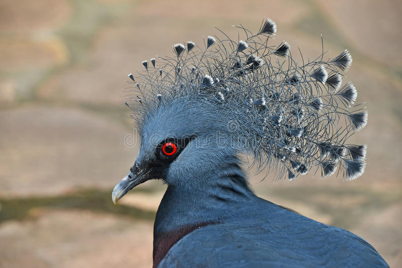 Close up side portrait of Victoria crowned pigeon stock photos