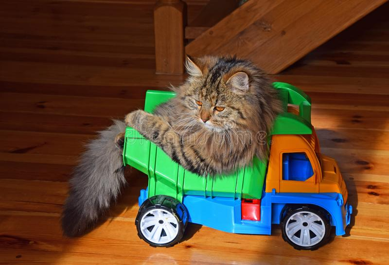 Close up portrait of domestic cat in toy truck stock photo