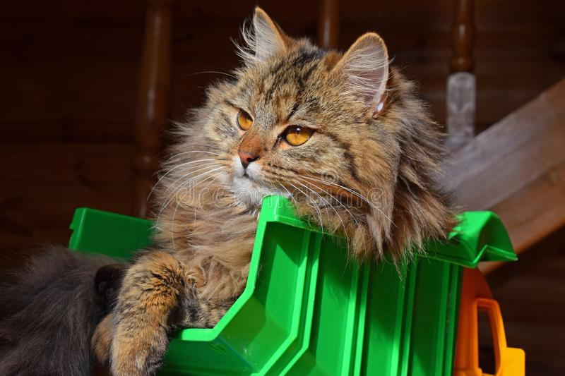 Close up portrait of domestic cat in toy truck royalty free stock image