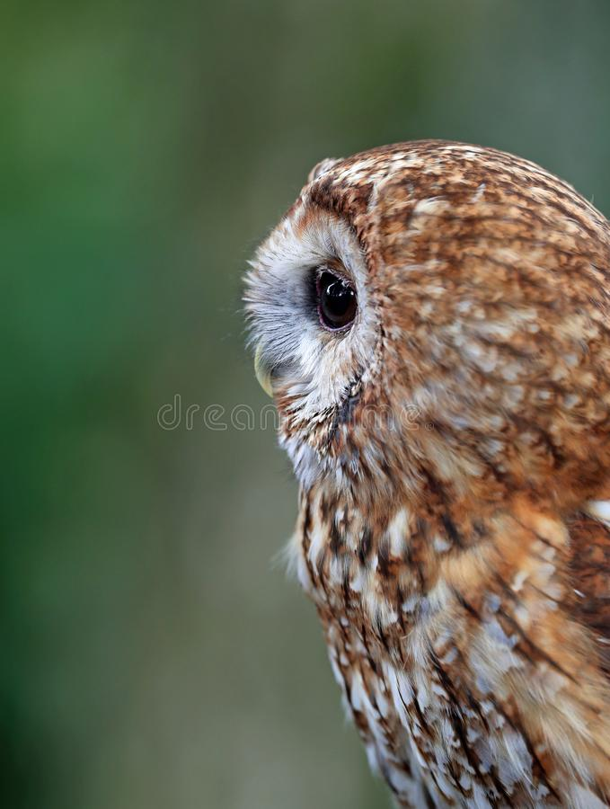 Close up side view of a Barn Owl royalty free stock photos