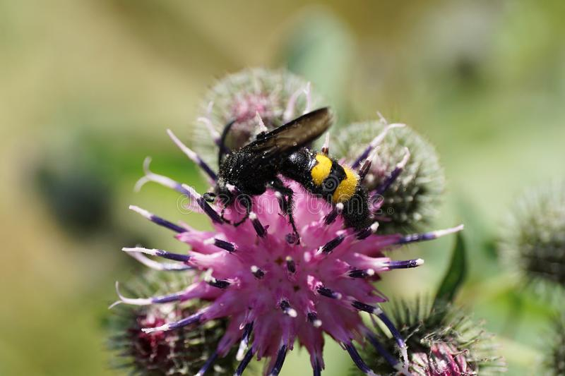 Close-up side view of black and yellow earthy Caucasian wasp Scolia hirta on inflorescences of thistle Arctium lappa royalty free stock photography