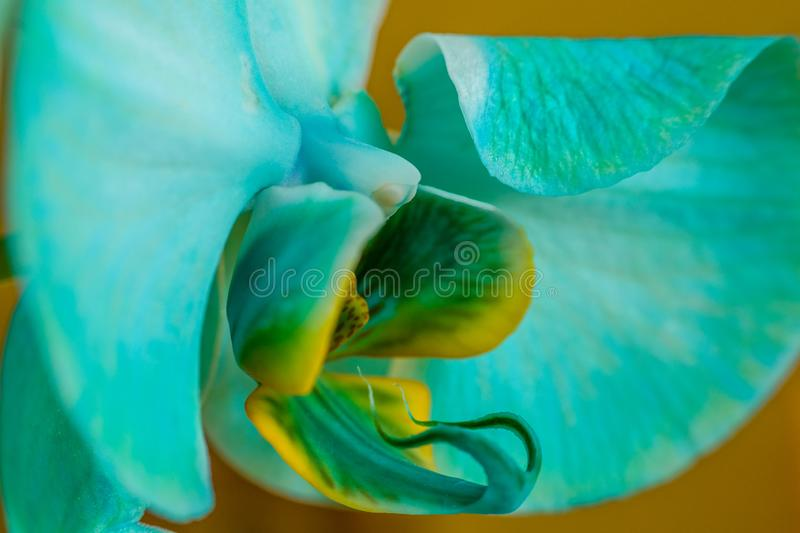 Close up side view of blue orchid flower. Macro view, studio shoot. stock images